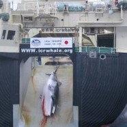 "Japanese ""Scientific Whaling"" by its Right Name is ""Commercial Whaling"""
