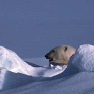 International Trade of Polar Bears to Continue