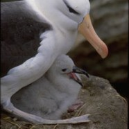 Today, when you eat tuna, you're killing an albatross.