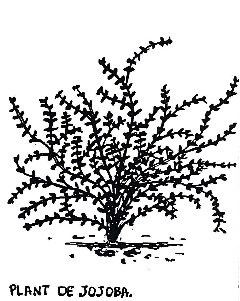 plants-jojoba-robindesbois-1985
