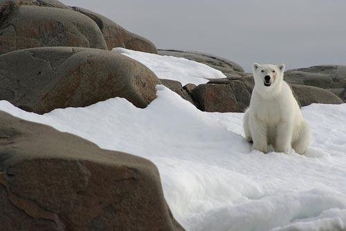 27_polar-bear-svalbard-norway_sites-pollues-arctiques_robin-des-bois