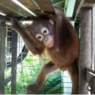Une tartine d'orang-outan