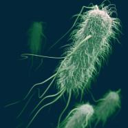 «Coli Bag» : les E. coli et les salmonelles sont-ils des espèces protégées ?