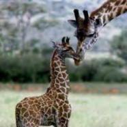 (Français) Les girafes