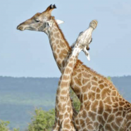 Giraffes : CITES takes the high ground