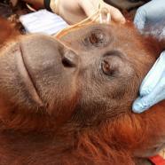 Vous aussi, venez au secours des orangs-outans